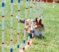 Scotty doing agility